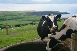 丘の上と牛